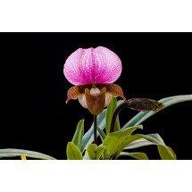 Paphiopedilum charlesworthii ''Compact Type''