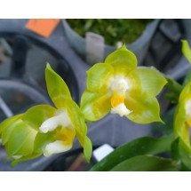 "Phalaenopsis Joy Spring Canary ""Joy"""