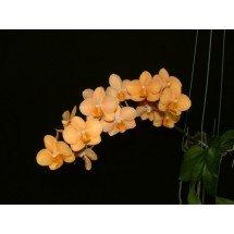 Asconopsis Irene Dopkin (Big Plant)