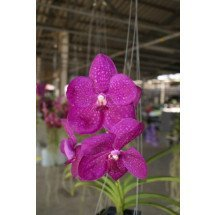 Ascocenda Varut Fushia 2N x Vanda Mem. Cathenne Mc Cartney
