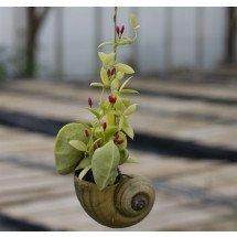 """Dischidia pectinoides """"Big""""  (Mierenplant)"""