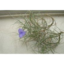 "Tillandsia Mallemontii ""Hybrid 4N"" (1+1 gratis, zolang de voorraad strekt)"