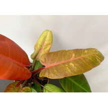 Philodendron Prince Of Orange Variegata