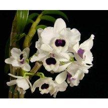 Dendrobium Yukidaruma king