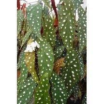 Begonia maculata var. wightii x albopicta var. rosea