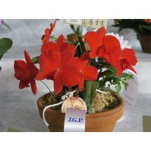 "Sophronitis coccinea ""4N Japan"""