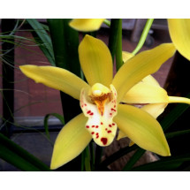 Cymbidium Yellow Magic