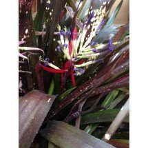 Billbergia Hallelujah 'Brown Type'