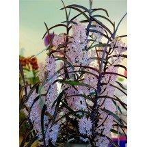 Ascocentrum christensonianum ''Big Plant''