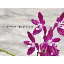 """Phalaenopsis tetraspis """"Purple"""""""