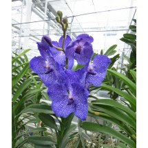 Vanda Blue Magic SS1
