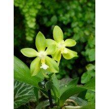 Phalaenopsis Tsay`s Evergreen