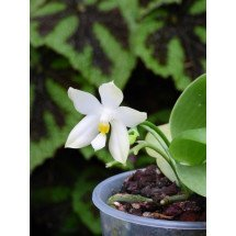 Phalaenopsis bellina alba x pulchra alba