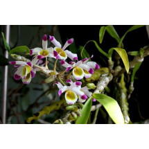 """Dendrobium pendulum """"Big Plant''"""