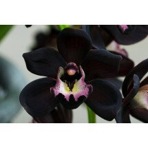 "Cymbidium Kiwi Midnight ""Geyserland"" ""Big"""