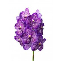 Vanda Exotic Purple 4N