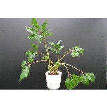 """Begonia carolineifolia """"Nice Plant"""""""