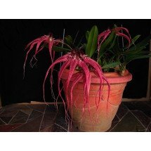 Bulbophyllum Lovely Elizabeth`Red Swallow`