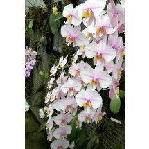 Phalaenopsis schilleriana x Phal. philipinense