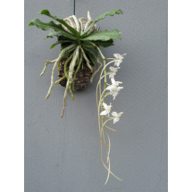 Aerangis somalensis ''big plant ''