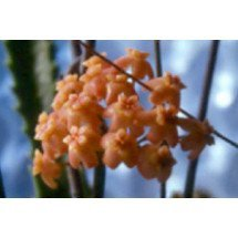 Hoya neo-ebutica