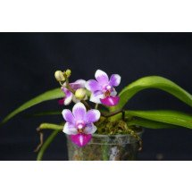 "Doritaenopsis Anna Larati ""Soekardi'' Big Plant"