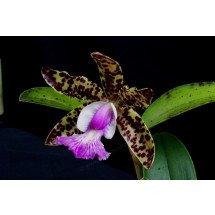 Cattleya aclandiae Hybrid Special Selection 1