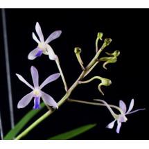 """Neofinetia falcata x Vanda coerulescens """"Big XXL"""""""