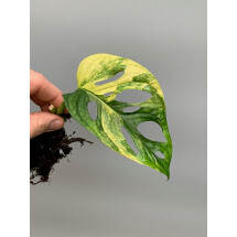 Monstera adansonii variegated aurea nr 2 (bald stek, met wortels)