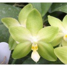 "Phalaenopsis tetraspis ""Green"""