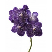 Vanda gordon dillon `Dark Blue Spotty`