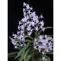Neofinetia falcata `Kokakuden` x Rhy. coelestis `Ching Hua Blue`