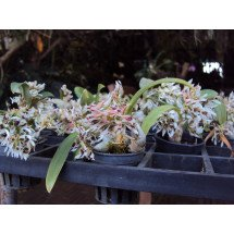"Dendrobium peguanum ""Big Plant"""