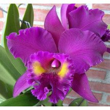 "Blc. King of Taiwan ""Chang Ju"" ""Big"""