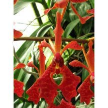 "Renanthera storiei ""Big"""