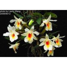 Dendrobium margaritaceum