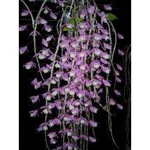 Dendrobium pierardi