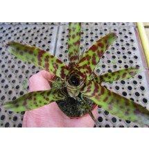 Vriesea guttata mini