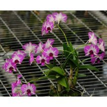 Dendrobium Enobi Stripe Pink Splash x Dendrobium Enobi Stripe Purple Splash