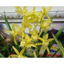 "Cymbidium Golden Elf ""Varigata"""