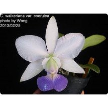 Cattleya walkeriana White `Blue Lip`