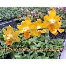 Phalaenopsis Yaphon Lobispis x Tying Shin Cupid