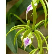 Encyclia ionocentra