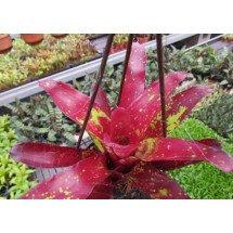 Neoregelia Red Hybrid