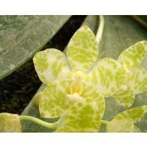 Phalaenopsis gigantea alba
