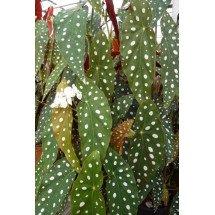 Begonia maculata var. wightii