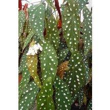 "Begonia maculata var. wightii ""Big"""