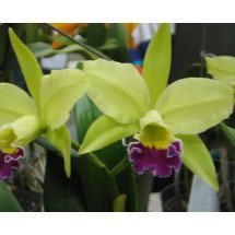 Blc. Greenwich `Elmburt`