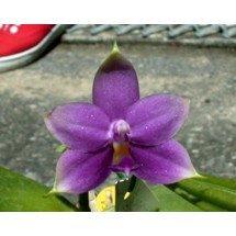 "Phalaenopsis violacea ""Indigo Blue"""