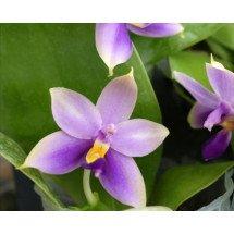 "Phalaenopsis bellina ""Blue"""